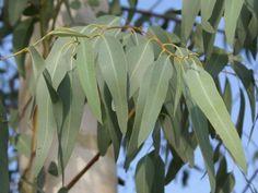 Eukalyptus sú rýchlo rastúce stromy alebo kríky pôvodom z Austrálie a Tasmánie. Tieto rastliny sa vyznačujú svojim nepríliš kvalitným drevom zato vysokým obsahom vonných a liečivých silíc nazývaných eukalyptol alebo cineol.