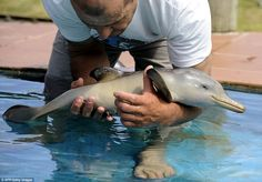 Art Dolphins are so cute! Especially baby dolphins pets-animals-and-the-bizarre Cute Animal Photos, Cute Animal Videos, Animal Pictures, Baby Pictures, Beautiful Creatures, Animals Beautiful, Animals Amazing, Magical Creatures, Baby Dolphins