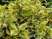 EUONYMUS fortunei 'Emerald Gold' - Plantes extérieures - Plantes ... Emerald, Gold, Yahoo Search, Gardens, Landscape Planner, Plant, Shrubs, Emeralds, Yellow