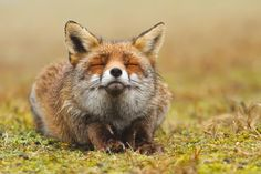 "Happy Fox - <strong>Zen Fox</strong> *Happy animals are the best animals* <a href=""http://www.roeselienraimond.com"">roeselienraimond.com</a> 
