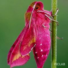 Pink insect