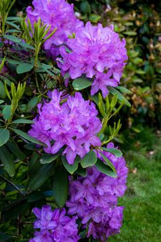 "Rhododendron - The Victorians labeled this bloom ""beware,"" — which is actually appropriate, since they're quite poisonous."