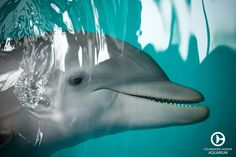 Unlike some other animals who use echolocation because of poor eyesight, dolphins see well above and below water and even in dim light!