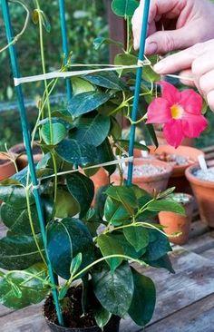 Mandevilla: Trvalka na slnečný balkón - Pluska. Clematis Plants, Orchid Plants, Front Garden Landscape, Garden Landscaping, Pothos Vine, Front Porch Plants, Mosquito Plants, Plantar, Plant Decor