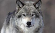 Resultado de imagen para WOLF