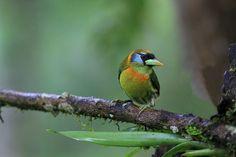 Red-headed barbet (female) / cabézon à tête rouge (femelle…   Flickr