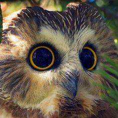 ~~ Bright Eyes / Northern Saw-whet Owl ~~