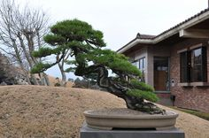 bonsai   Flickr - Photo Sharing!
