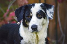 Adopted! Ellie - Border Collie/Bernese Mountain Dog mix - Boulder, CO. 2 yrs old