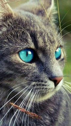 Cute Kittens With Blue Eyes Grey Cats Cute Cats And Kittens, Kittens Cutest, Beautiful Cats, Animals Beautiful, Cute Baby Animals, Funny Animals, Animals Images, Photo Chat, Cat Aesthetic