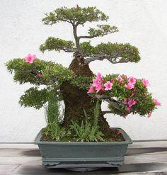 Bonsai in Bloom These are small trees. Culture of growing bonsai tree is a very long time - the Japanese were engaged in this century. Bonsai Azalea, Wisteria Bonsai, Bougainvillea Bonsai, Ikebana, Boxwood Bonsai, Bonsai Plants, Bonsai Flowers, Plantas Bonsai, Mini Plantas