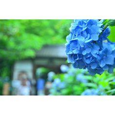 キャプション→14年ぶりに紫陽花の季節の鎌倉を訪れてきました。 #明月院#紫陽花寺#紫陽花#紫陽花の季節#梅雨#雨あがり#海#森#山#鎌倉#北鎌倉#長谷#江ノ電#旅#一人旅#一眼レフ#写真#写真好きな人と繋がりたい #D7000#NIKON#Instagramjapan#Loves_Nippon#landscape#happy ユーザー→shiba2101 場所→明月院