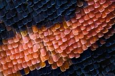 Red Admiral butterfly wing scales