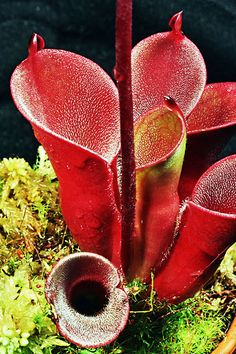 H. pulchella — Chimanta, Churi, Apacapa, Acopan and Amuri tepuis. Pitchers 3-8 inches (8-20 centimeters) tall and 1-3 inches (3-8 centimeters) wide that are often a very deep red; nectar spoon helmet shaped and attached directly to rear of pitcher (no stalk or basal constriction); hairs inside pitcher are long, almost one-quarter inch (5 millimeters); once considered to be a hairy form of H. minor.