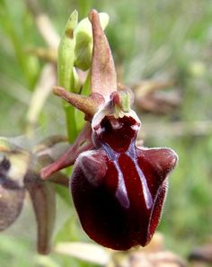 Ophrys hystera, from Imathia, Vermion mountain, Greece