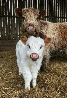 Pin this visit website! farm animals, cow painting, baby cows, cow art, cow pict… – M T - Baby Animals The Animals, Baby Farm Animals, Baby Cows, Nature Animals, Cute Baby Cow, Baby Donkey, Cow Pictures, Baby Animals Pictures, Funny Animal Pictures