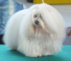 Hunde - Rassehunde - Coton de Tuléar Tieranzeigen