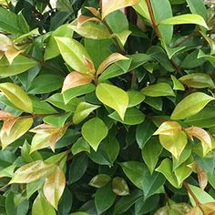 Lilly Pilly Backyard Bliss is a fast growing screening plant, easy care and readily available for sale.