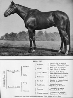 Whirlaway, 1941 Triple Crown winner and Horse of the Year. Pretty Horses, Beautiful Horses, The Belmont Stakes, Preakness Stakes, Triple Crown Winners, Sport Of Kings, Thoroughbred Horse, Racehorse, Horse Pictures