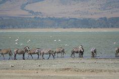 Zebras by the lagoon (Arusha, Tanzania) Arusha, Zebras, Tanzania, Fresh Water, Africa, Memories, London, Friends, World