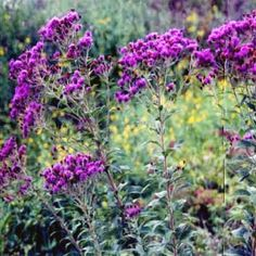 Ironweed, (Vernonia Fasciculata), Aster Family