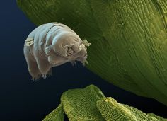A water bear, also known as a tardigrade, is a small micro-animal. This animal is known for being able to survive in extremely hostile conditions. One such example is the ability to survive the vacuum of space for over a week.