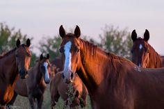 Budionniy horses from Budionniy Stud / Будённовские лошади конного завода им. Будённого.