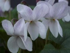 Santas Beard Violet.  C.W Groves & Son (Bridport).  Large pure white flowers on a vigorous plant good for cut flowers. £3.50
