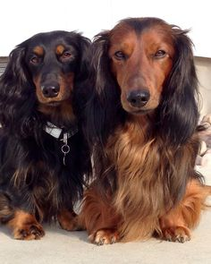 Longhaired dachshunds, Kenzo and Kito from Oslo In Norway.