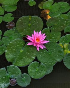 Water Lilly on a Rainy Day x - Nature/Landscape Pictures Lilly Flower, Landscape Pictures, Urban Farming, Water Lilies, Nature Animals, Landscape Photographers, Marine Life, Rainy Days, Beautiful Flowers