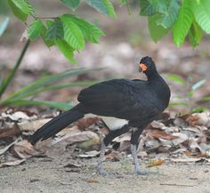 Foto mutum-de-bico-vermelho (Crax blumenbachii) por Ricardo Gentil | Wiki Aves - A Enciclopédia das Aves do Brasil