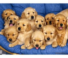 Akc Golden Retriever Puppies is a Female, Male Golden Retriever Puppy For Sale in Sunbury OH