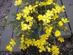 Hibbertia aff pedunculata 'Sun Drops' 9.15m x 0.45 Full sun/part shade, spring/summer flowers, Austraflora