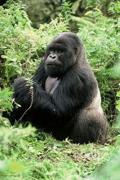 Gorillas, Uganda, via Flickr.