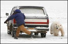 To see a wild polar bear...This is in Barrow, Alaska....