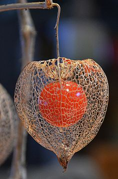 Glass Photography, Autumn Photography, Color Photography, My Flower, Flower Power, Chinese Lanterns Plant, Organic Structure, Egg Carton Crafts, Visual Texture