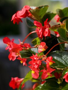 Big Red with Green Leaf Begonia ~ bears red-pink flowers on a tough, vigorous plant that grows 18 inches tall and 12 inches wide.