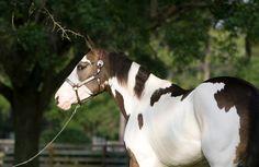 Dark Eyed Treasure - I am so in love. Baby Horses, Cute Horses, Pretty Horses, Horse Love, Beautiful Horses, Animals Beautiful, Horse Stables, Horse Farms, Horse Pictures