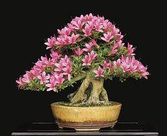 bonsai azalee etoile