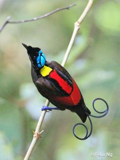 Image result for wilson's bird of paradise