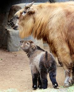 How precious is a baby Takin? | Flickr - Photo Sharing!