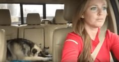 The German Shepard Pup Is Asleep On The Back Seat When Her Favourite Song Comes On