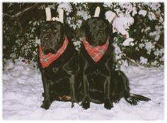 Hollyridge In Loving Memory Labrador Breeders, In Loving Memory, Memories, Dogs, Animals, Memoirs, In Remembrance, Animaux, Doggies