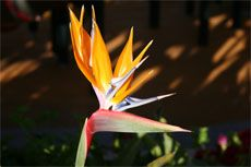Bird of Paradise is a great tropical plant for your garden in Southwest Florida.