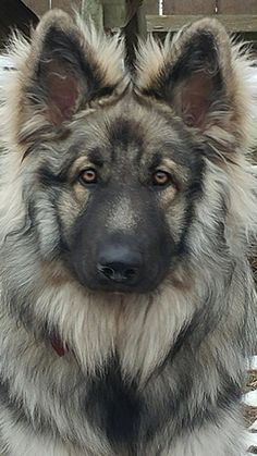 Big Dogs, I Love Dogs, Cute Dogs, Dogs And Puppies, Doggies, Baby Puppies, Shiloh Shepherd, German Shepherd Puppies, German Shepherds