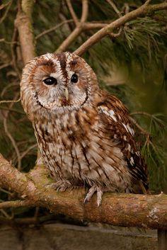 Tawny Owl | Flickr - Photo Sharing!