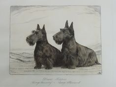 "Etchings Plus Original ink and wash drawing of Scottie dogs 1920/30 I thought his was an etching then realised it was an original drawing, how happy am I !! I cannot make out the signature, it is 8"" x 6"" (taken through the glass, hence slightly blue) Title is ' Dixie's puppies Assaye Accesory Asseye Allurement' . Only a shame that it isn't a pair of westies."