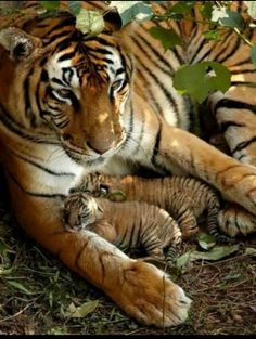 A tiger and her 2 babys