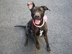 SAFE 5-12-2015 --- Manhattan Center MEENA – A0860083 **Returned 04/24/15** SPAYED FEMALE, BLACK / WHITE, AM PIT BULL TER / LABRADOR RETR, 5 yrs OWNER SUR – ONHOLDHERE, HOLD FOR ID Reason ABANDON Intake condition EXAM REQ Intake Date 04/24/2015