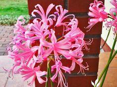 Nerine bowdenii Plants, Jewelry, Jewellery Making, Jewelery, Jewlery, Jewels, Plant, Jewerly, Planting